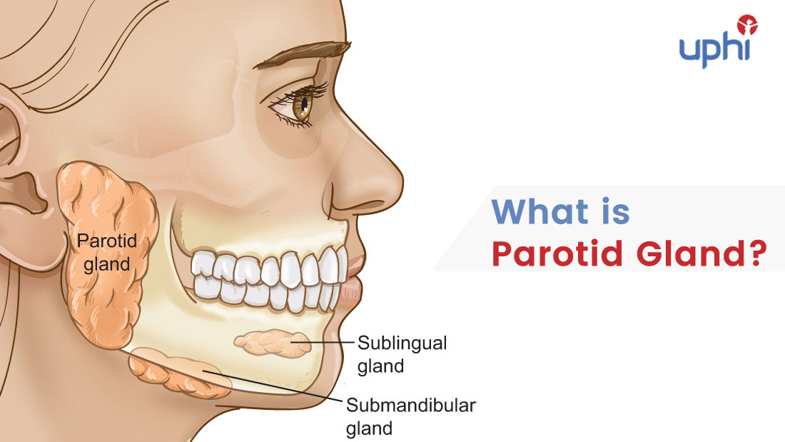 What is Parotid Gland?